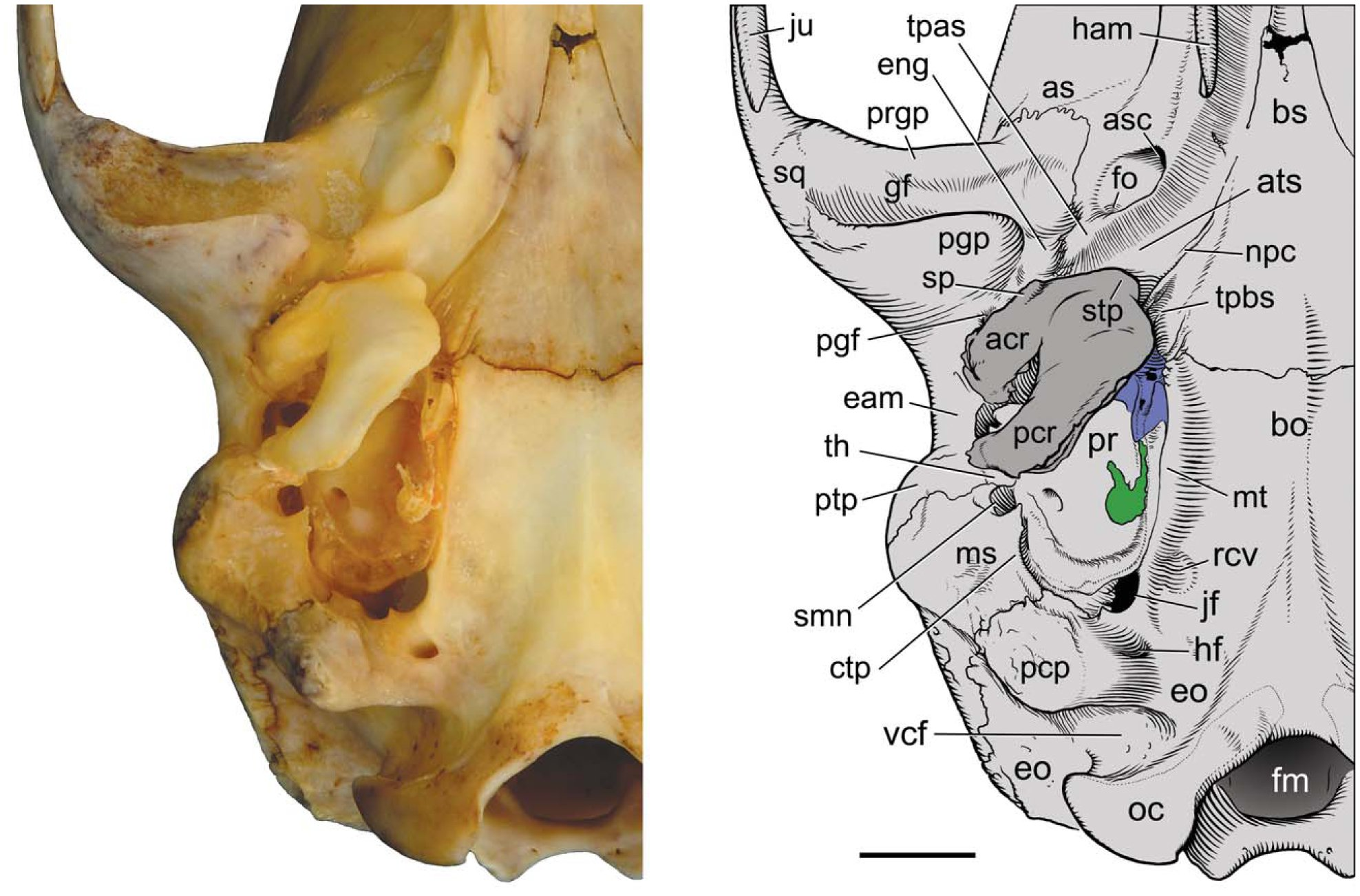 On the Cranial Osteology of the African Palm Civet, Nandinia
