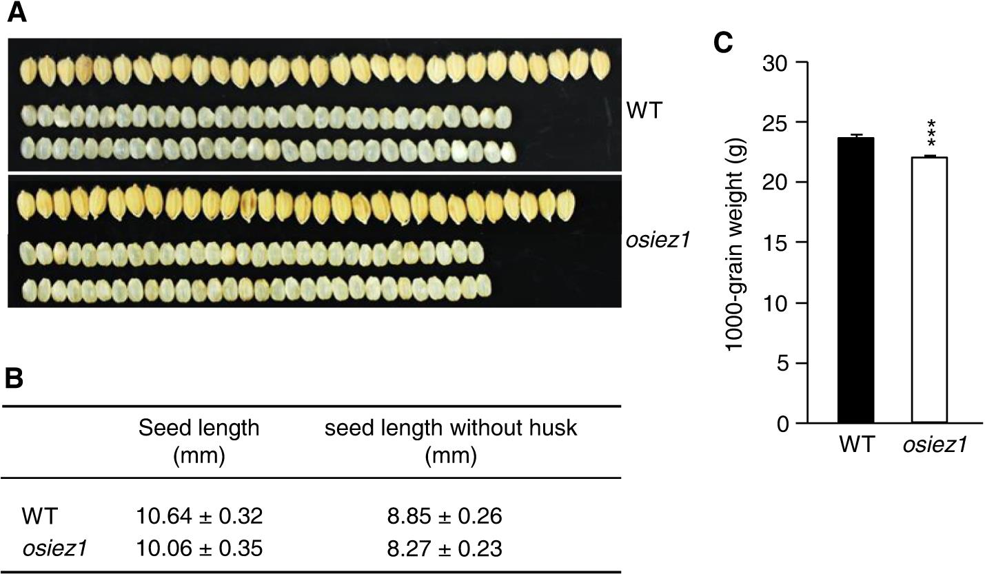 The enhancer of zeste gene OsiEZ1 is involved in ligule and seed