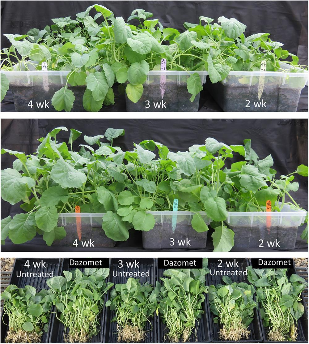 suppression of clubroot by dazomet fumigant rh bioone org