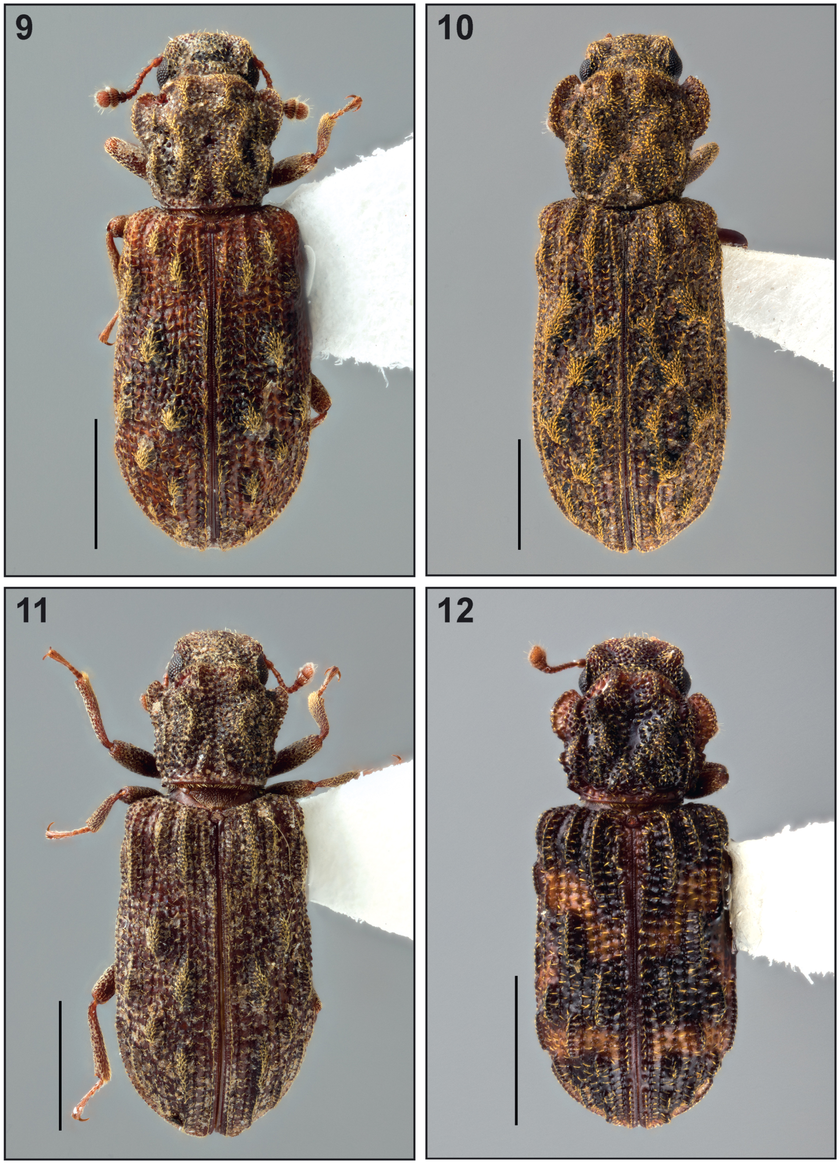 Several New Genera and Species of New World Synchitini (Coleoptera