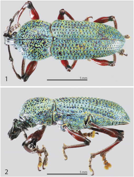 A Remarkable New Genus And Species Of Broad Nosed Weevil