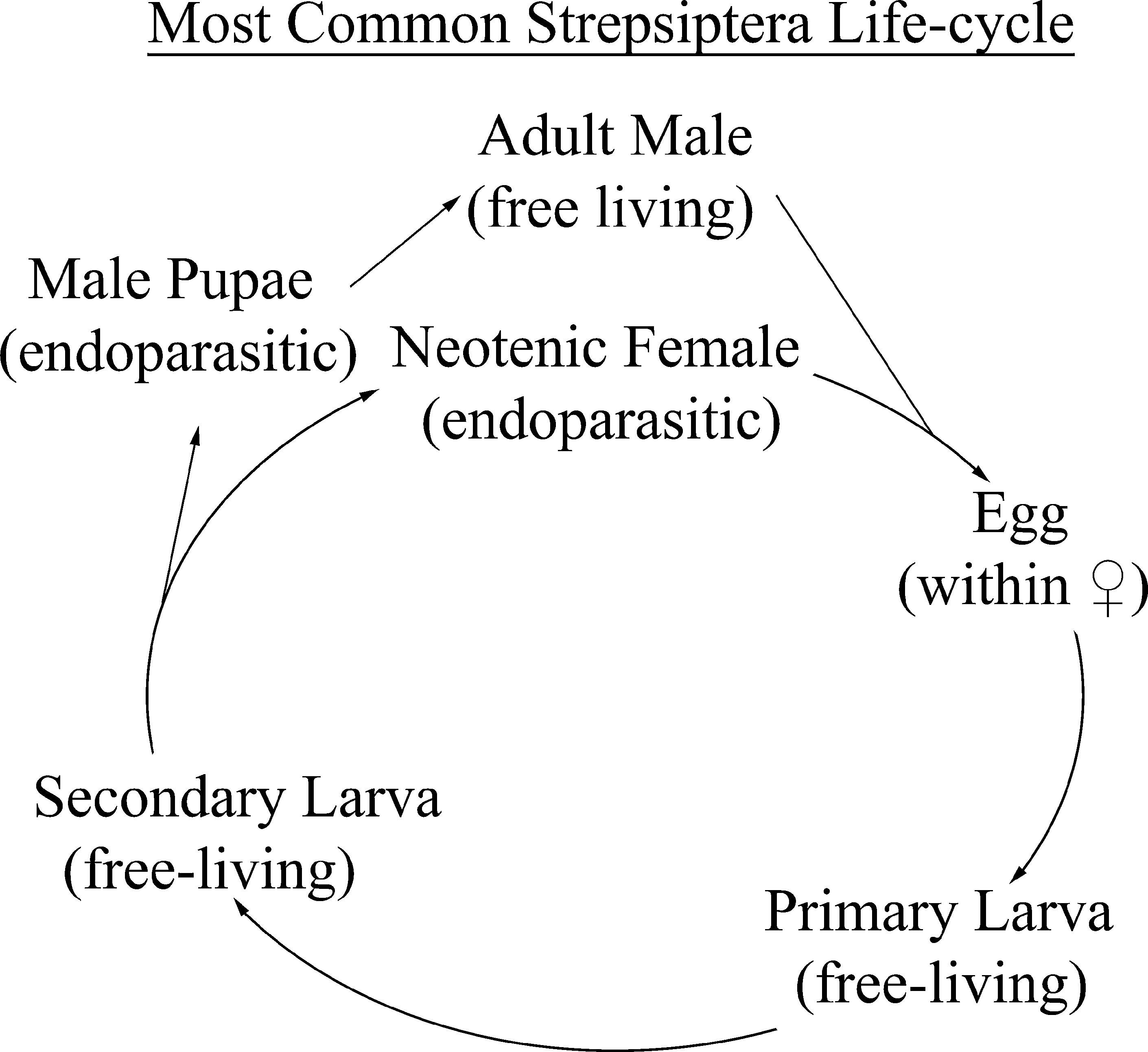 Review of the Biology of Parasitic Insects in the Order Strepsiptera