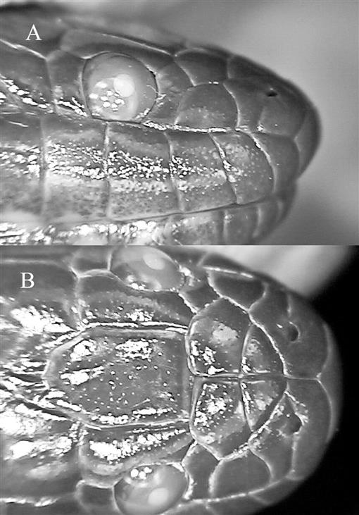 A Checklist and Key to the Homalopsid Snakes (Reptilia