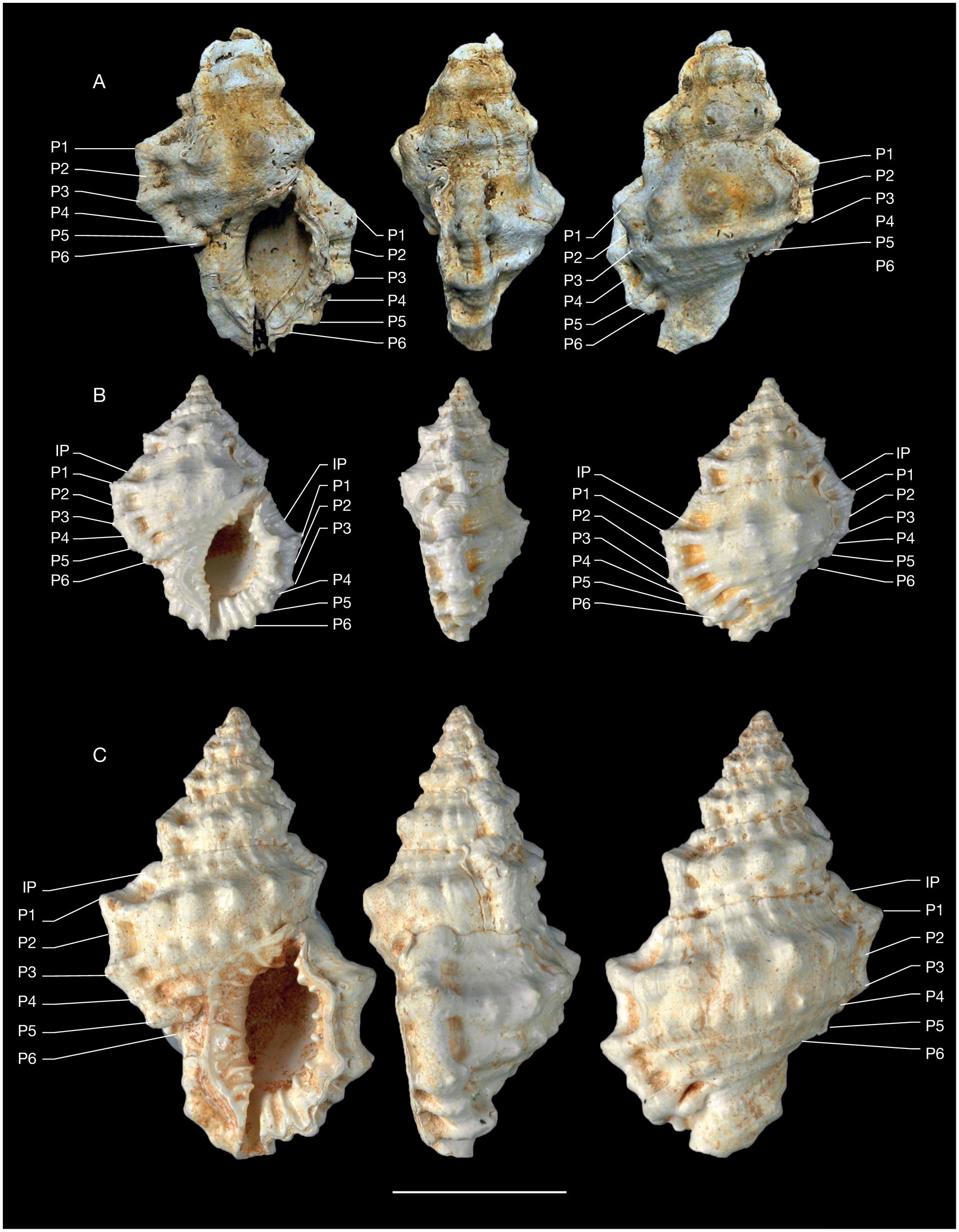A review of fossil Bursidae and their use for phylogeny
