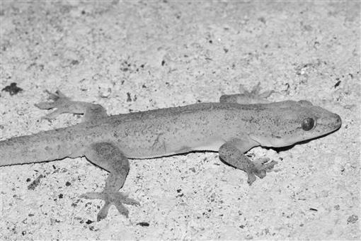 The Lizards, Crocodiles, and Turtles of Honduras  Systematics