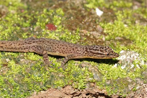 premium selection b8a87 64858 The Lizards, Crocodiles, and Turtles of Honduras. Systematic