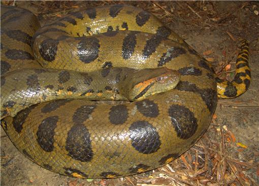 Boas of the World (Superfamily Booidae): A Checklist With