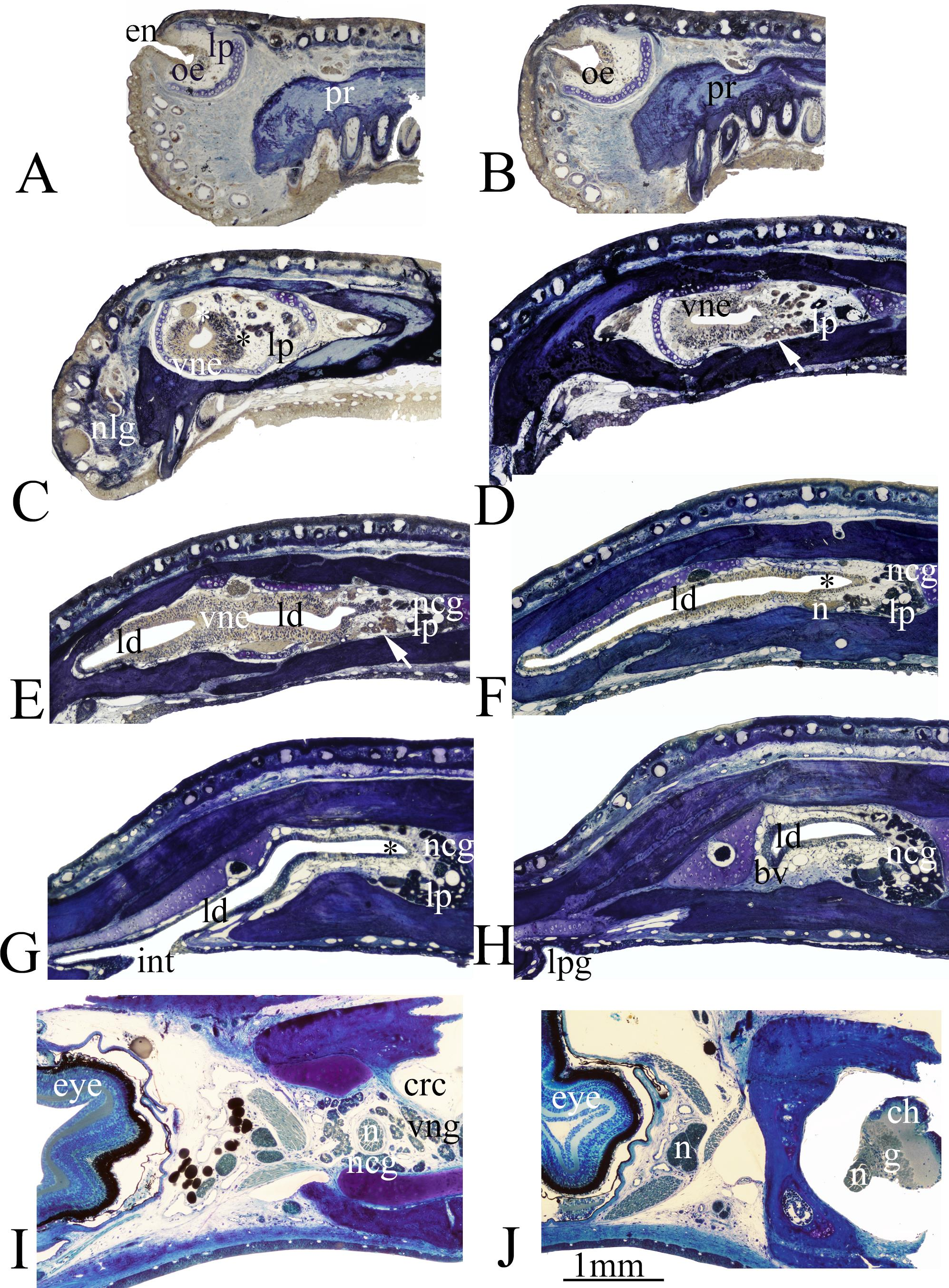 Comparative Morphology of Plethodontid Olfactory and