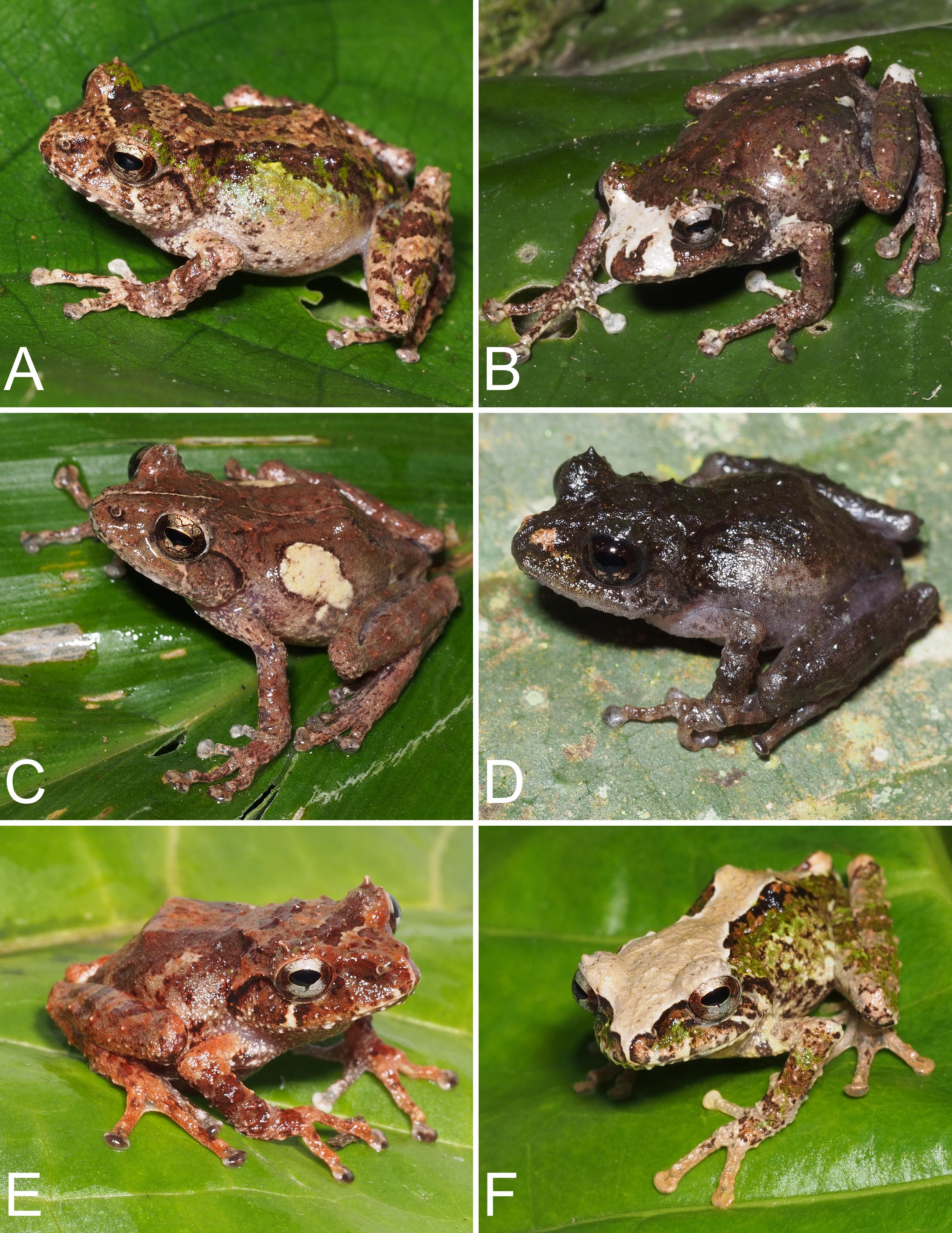 A Taxonomic Revision of the Philautus (Anura: Rhacophoridae) of