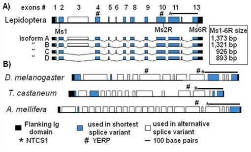 Molecular Analysis of the Muscle Protein Projectin in