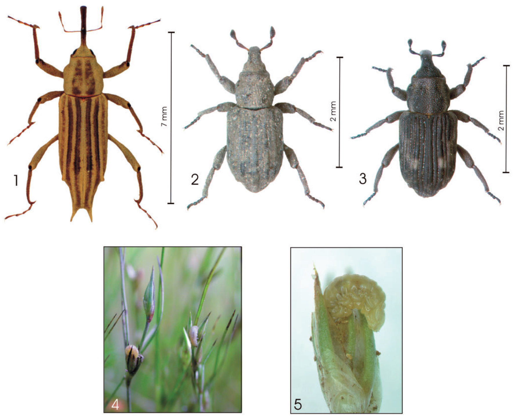 First Descriptions of Immature Stages of the Weevils Bagous