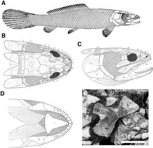 A Revision of the Amiiform Fish Genus Sinamia with Phylogeny