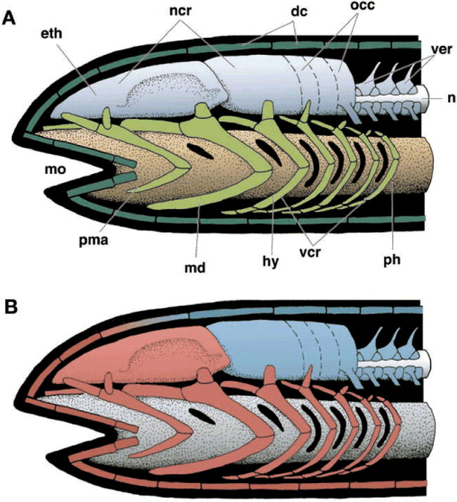 Craniofacial Development And The Evolution Of The