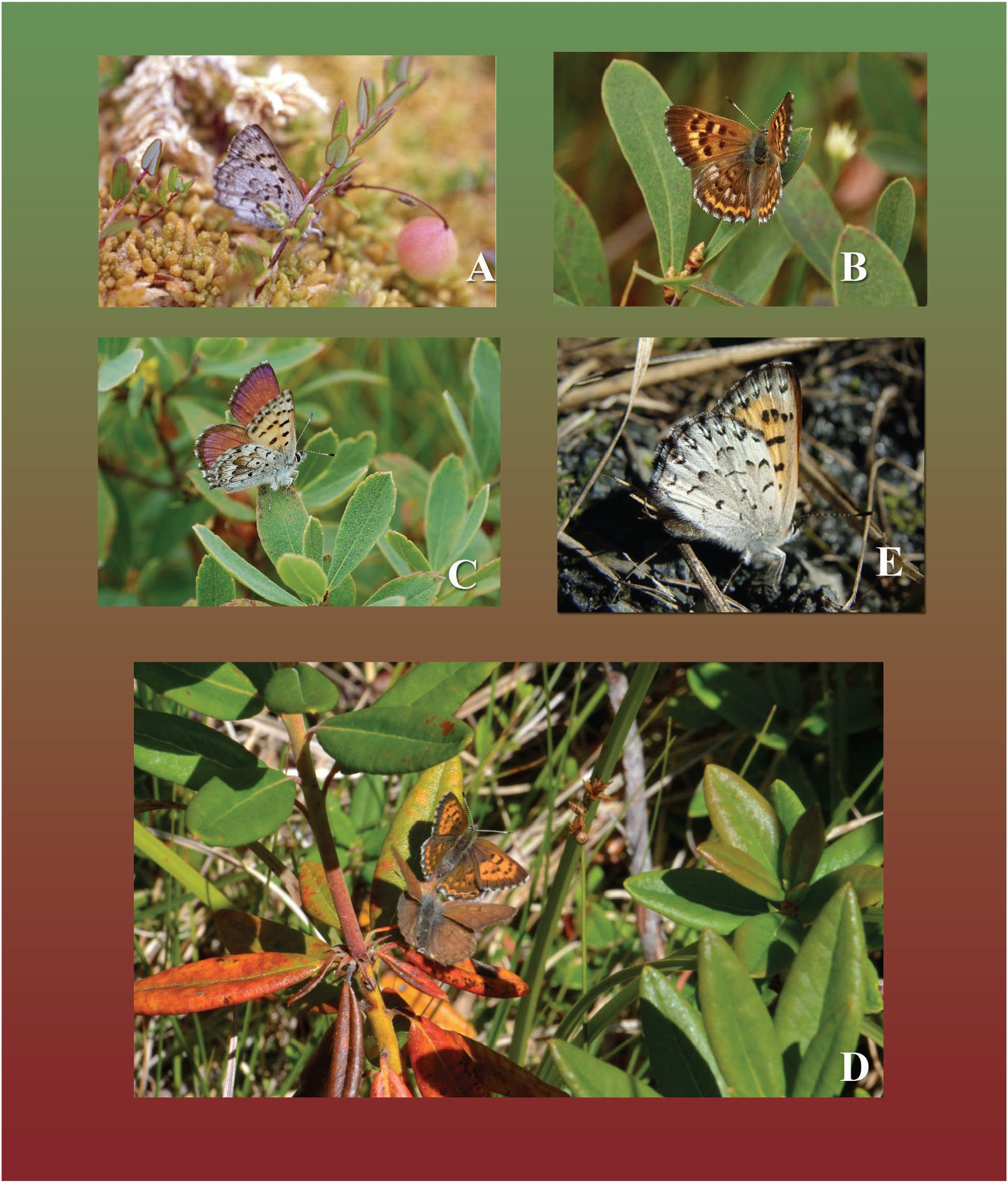 A Review of the Mariposa Copper (Lycaena (Epidemia) Mariposa