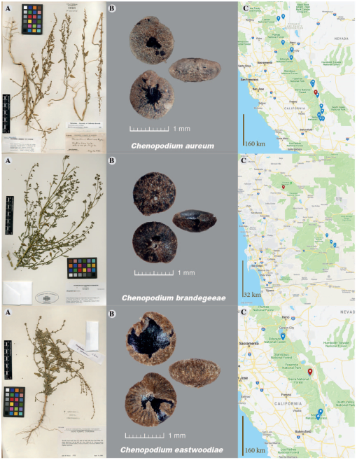 THE TAXONOMY OF CHENOPODIUM HIANS, C. INCOGNITUM, AND TEN ...