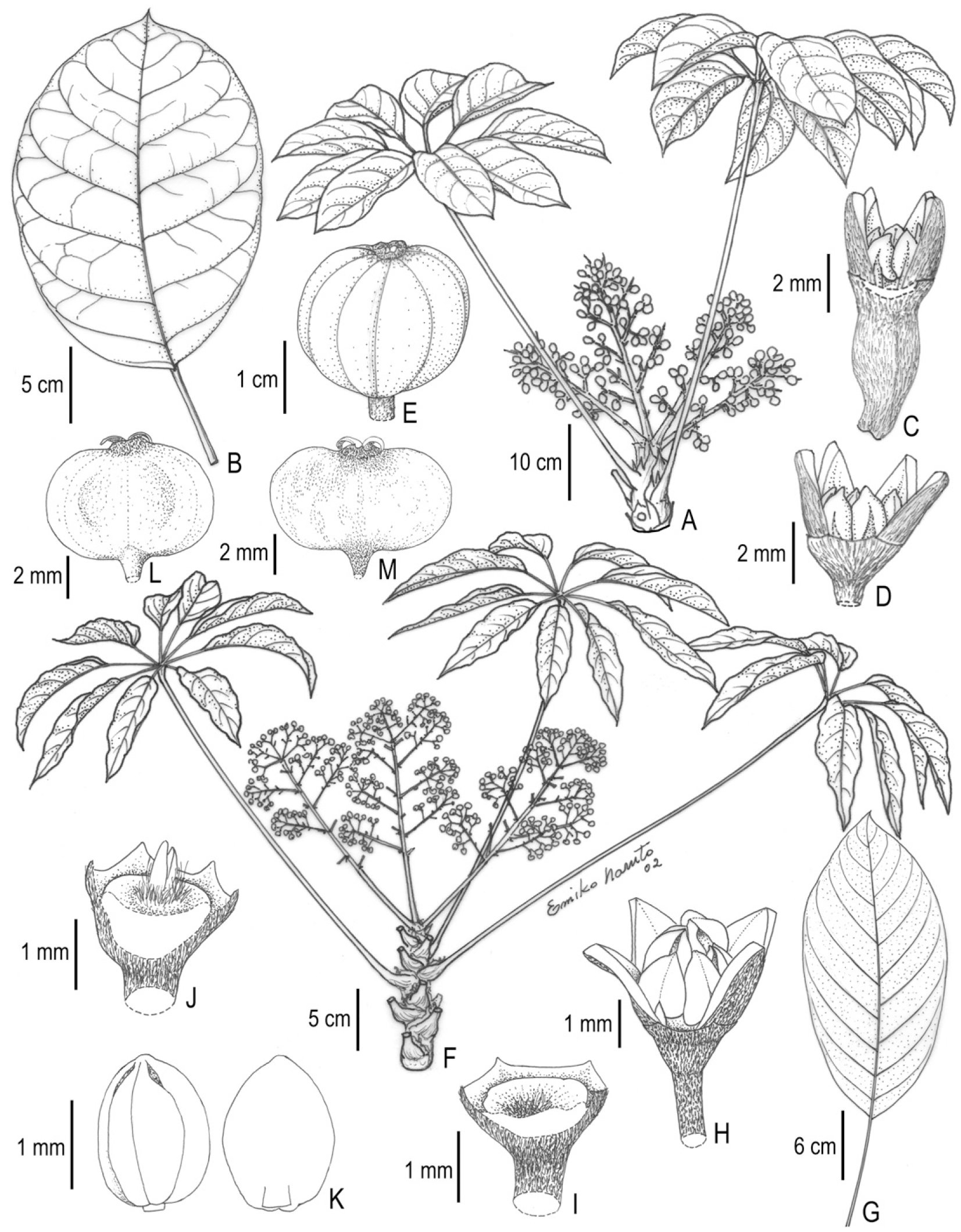 revision of the didymopanax group of neotropical schefflera 1986 El Camino Conquista m from house 2347 us modified from figure 1 from fiaschi 2004 with permission from new york botanical garden press and figure 9 from fiaschi and pirani
