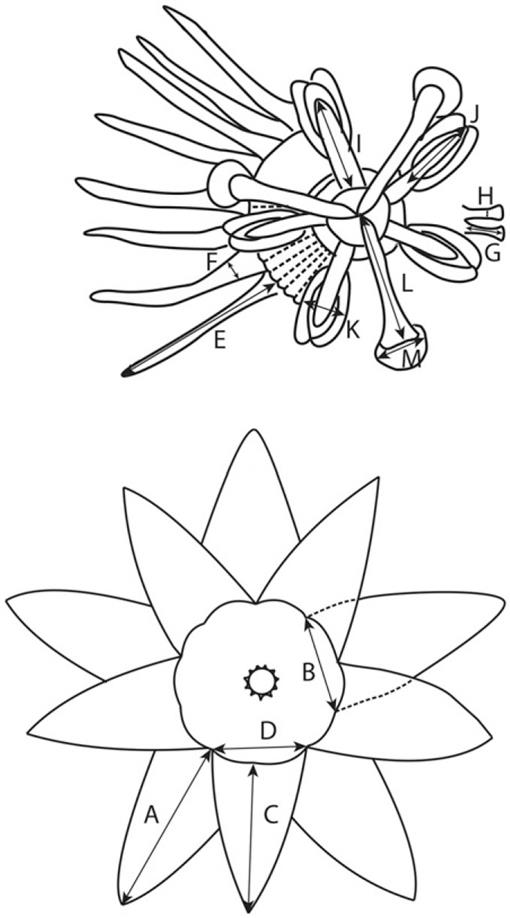 A Taxonomic Revision Of Passiflora Sect Xerogona Passifloraceae