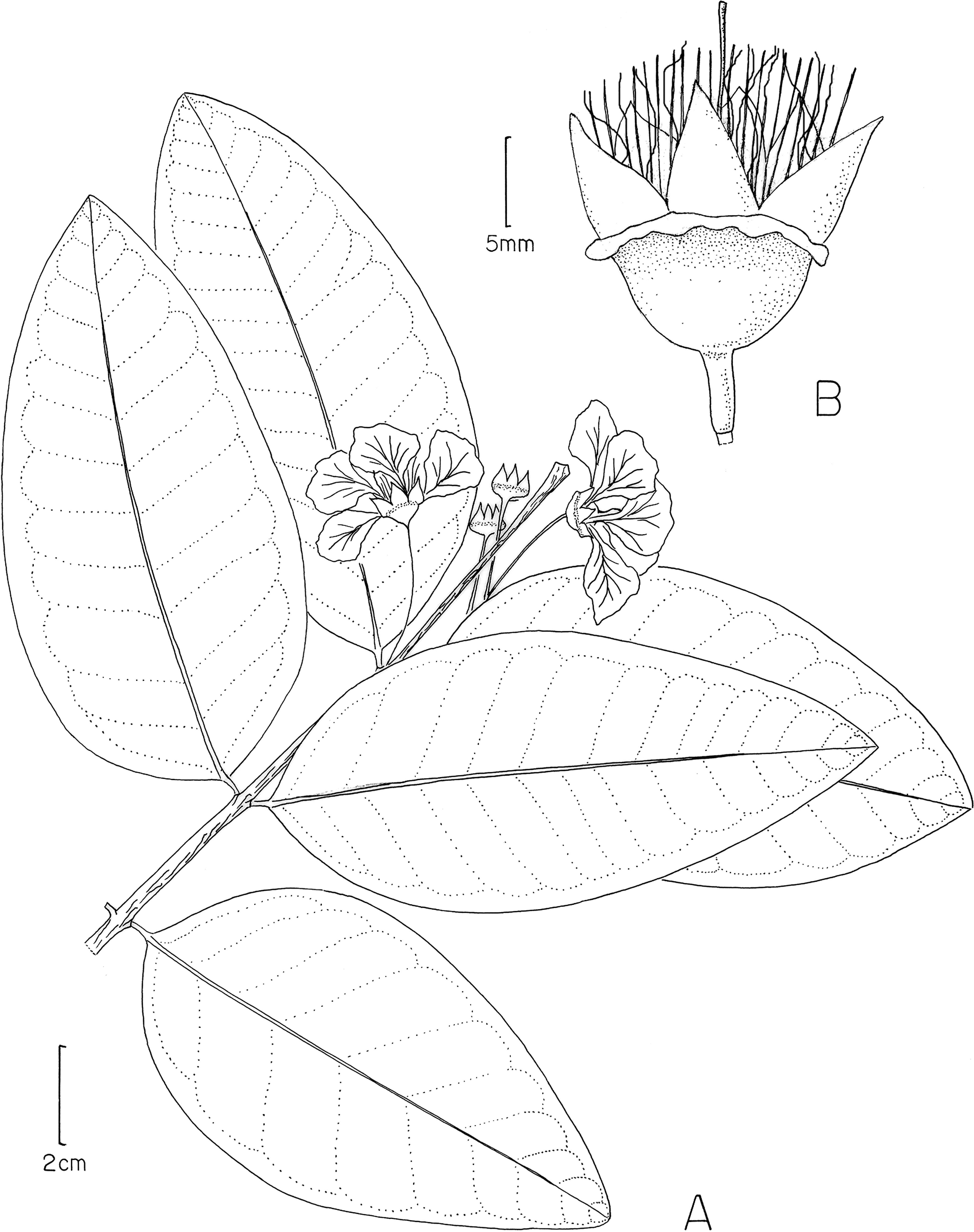 revision of the caribbean genus ginoria lythraceae including F-22 Raptor Wallpaper figure 18