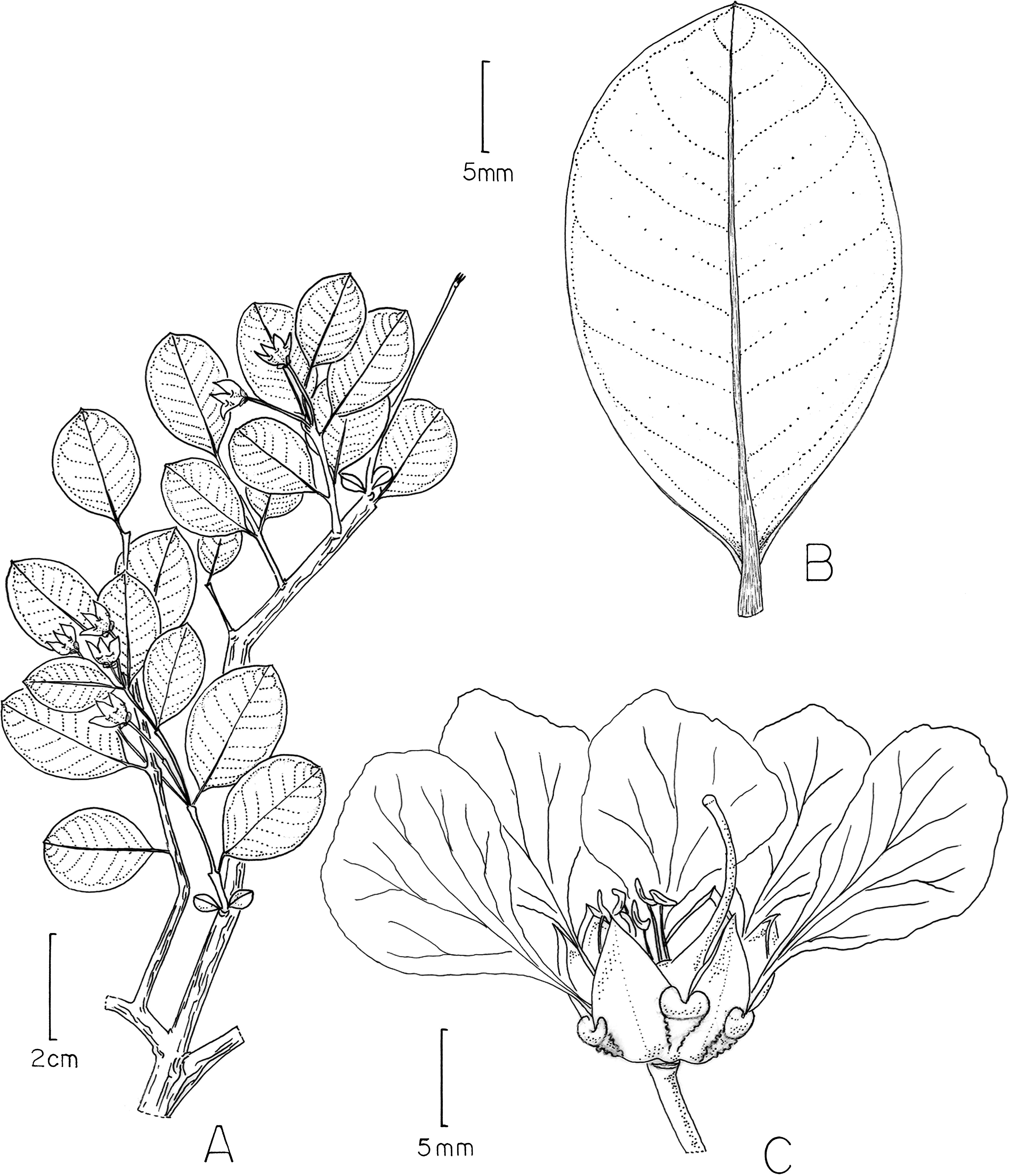 revision of the caribbean genus ginoria lythraceae including F-22 Raptor Blue figure 20