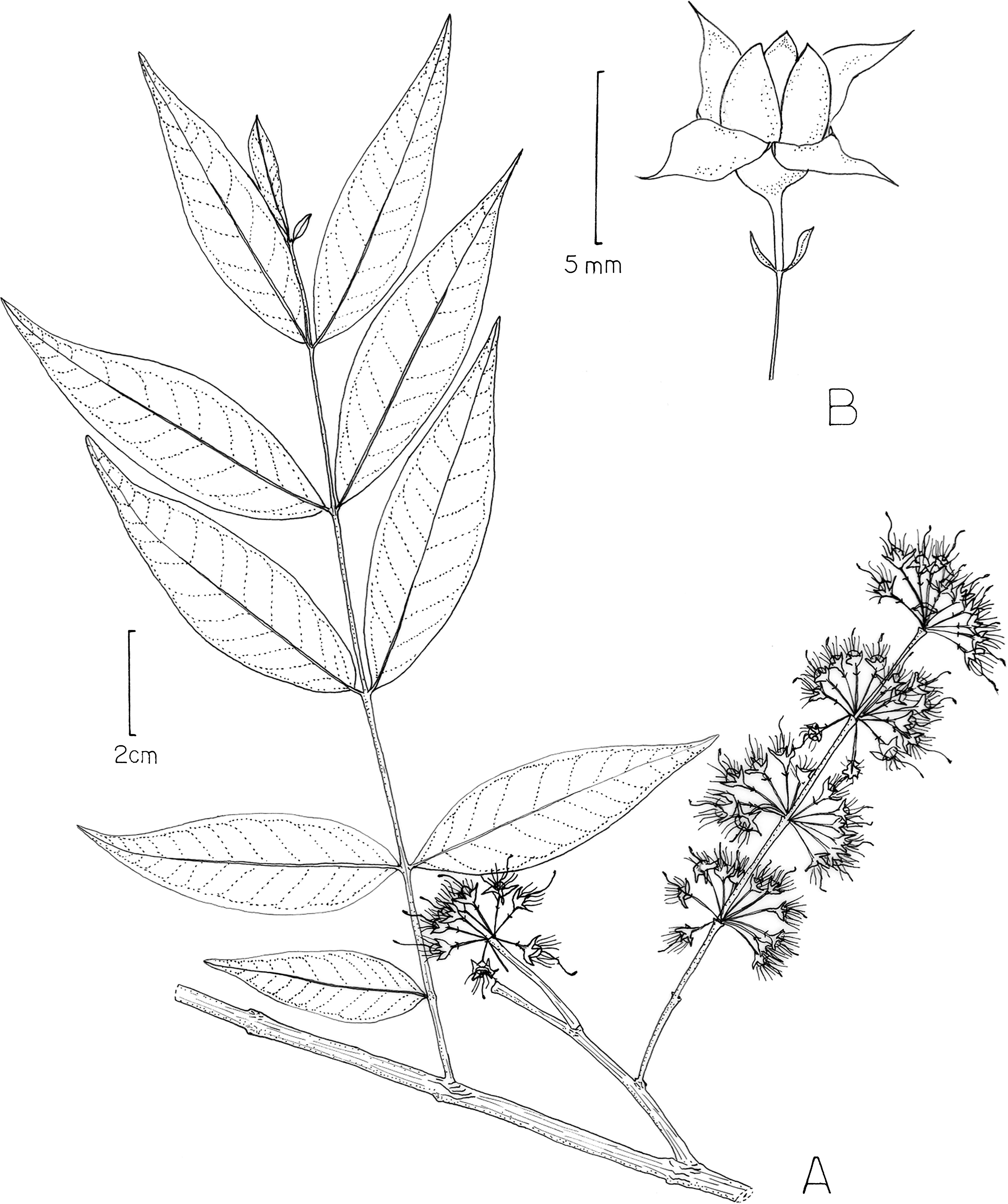revision of the caribbean genus ginoria lythraceae including F-22 Evolution figure 32