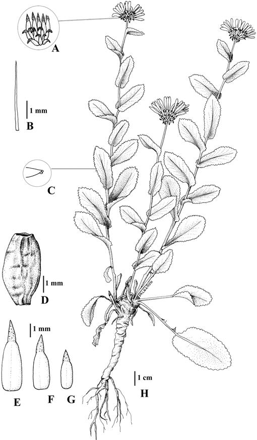 Revision of the North American Species of Grindelia