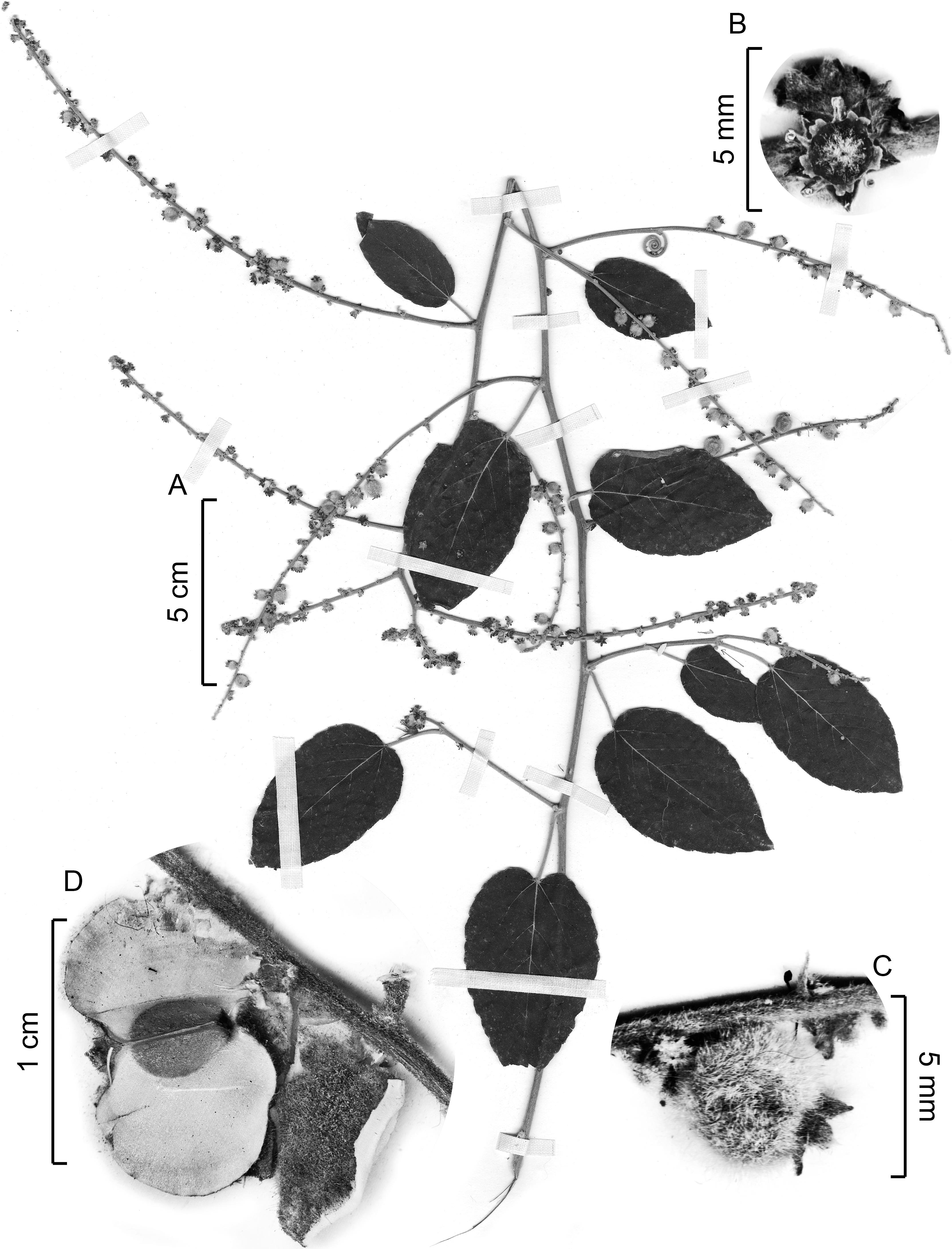cd2ae7a5fed Taxonomic Revision of Gouania (Rhamnaceae) for North America1