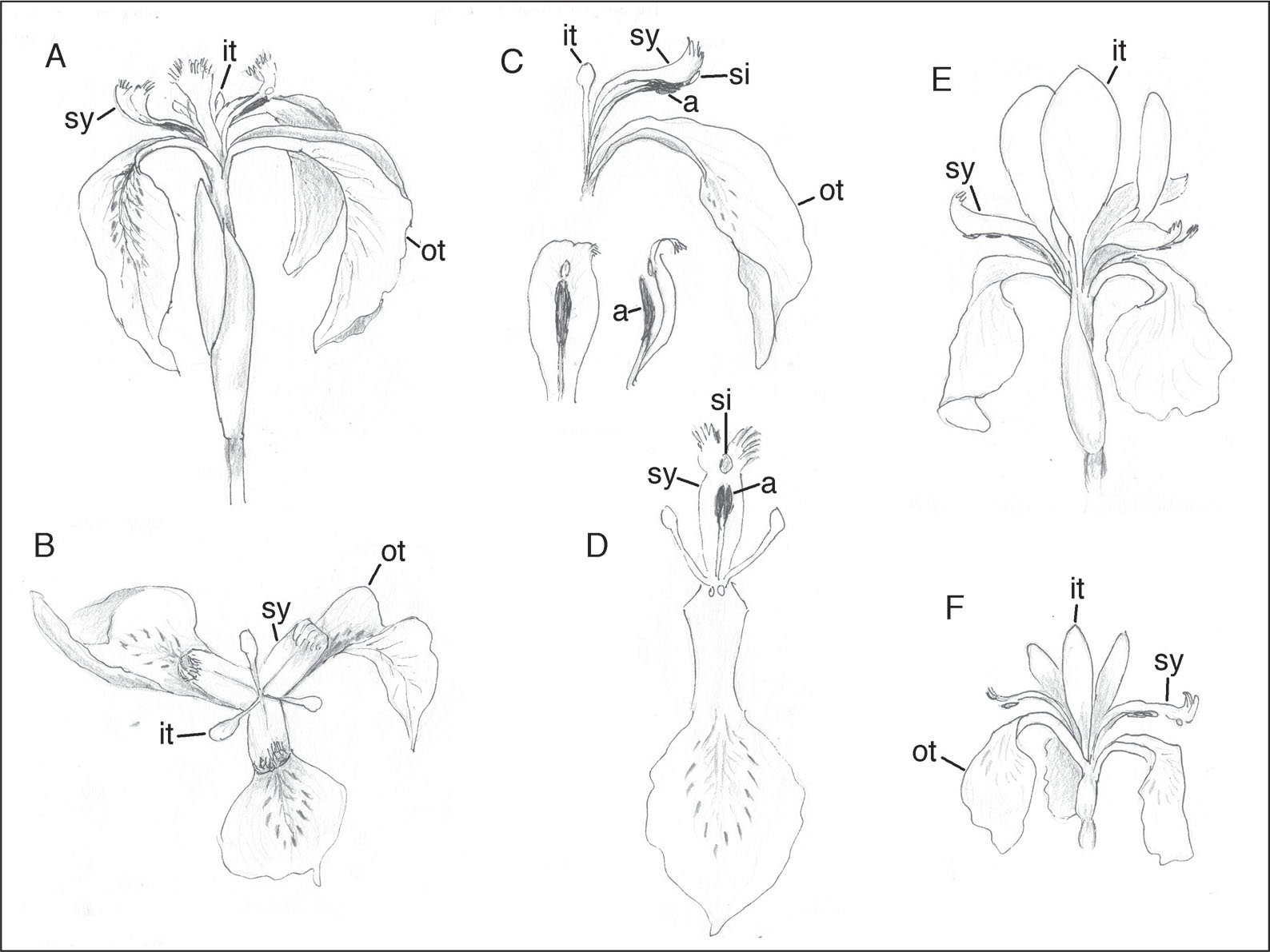 a note on iris flower anthesis mechanism and meaning of sudden F-22 Formation e i sanguinea japanese iris f i versicolar blueflag iris ot outer tepal it inner tepal banner a anther sy style and si stigma