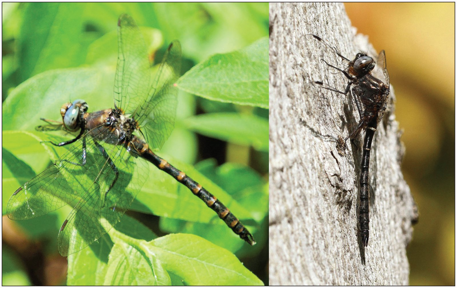 Naming an Undescribed Dragonfly: Williamson's Williamsonia and the