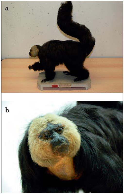 A Taxonomic Revision of the Saki Monkeys, Pithecia Desmarest
