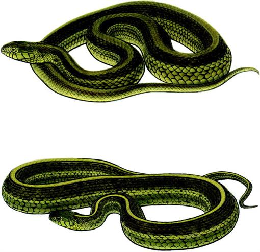 Observations on Garter Snakes of the Thamnophis eques