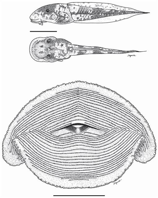 Two New Species of Myersiohyla (Anura: Hylidae) from Cerro