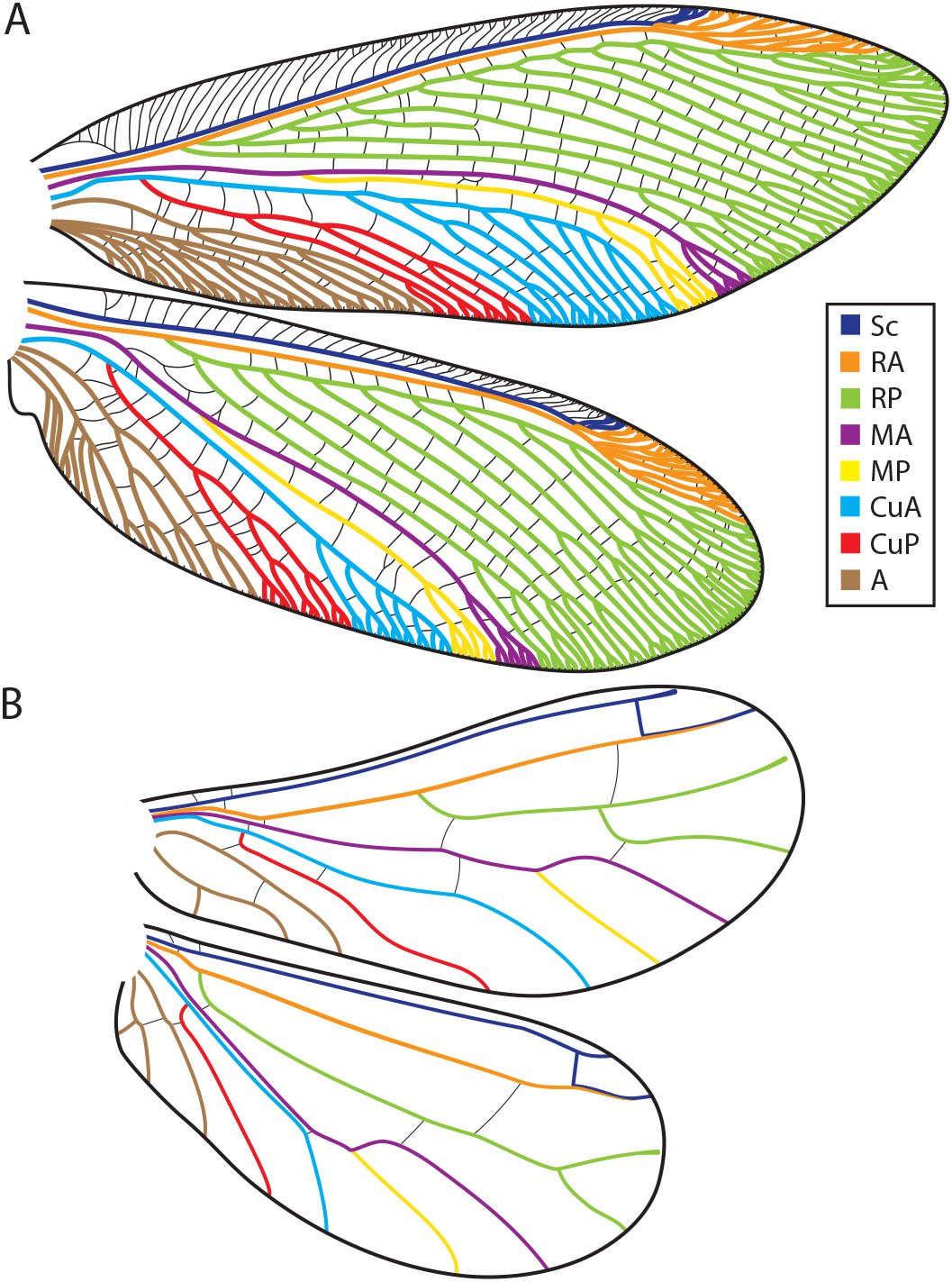 Wing Tracheation in Chrysopidae and Other Neuropterida