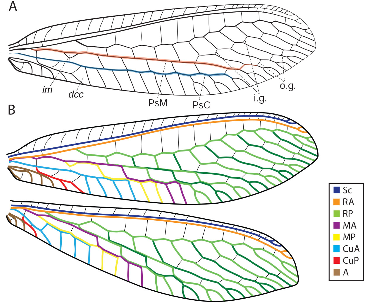 Wing Tracheation in Chrysopidae and Other Neuropterida (Insecta): A