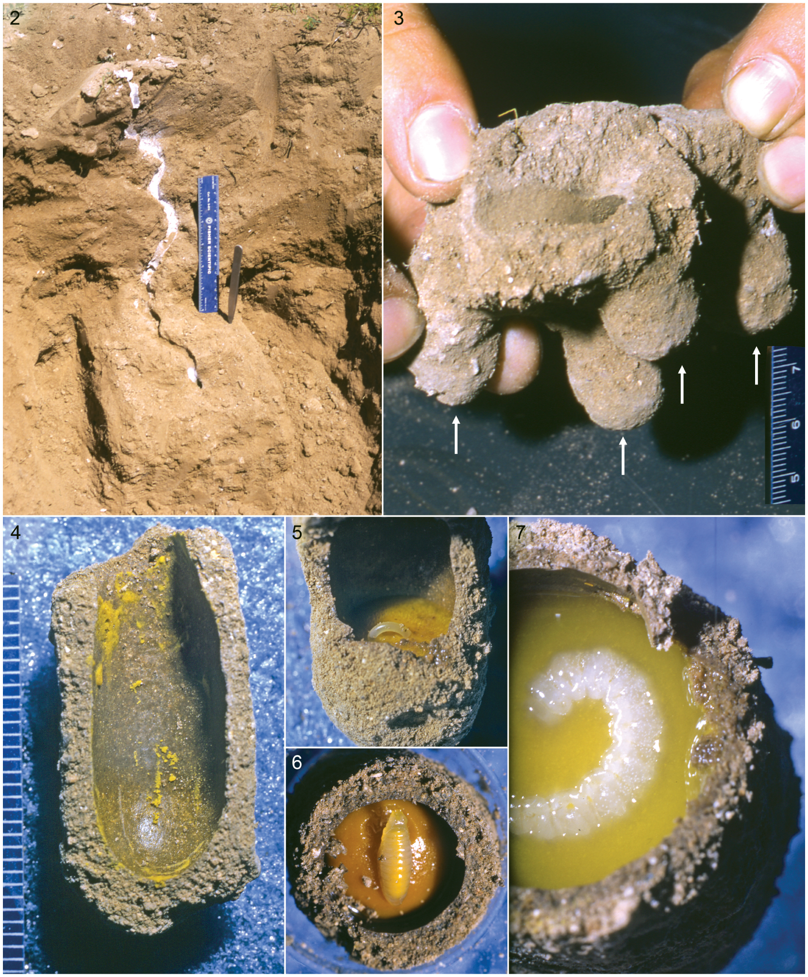 Nesting Biologies and Mature Larvae of Oxaeine Bees (Apoidea
