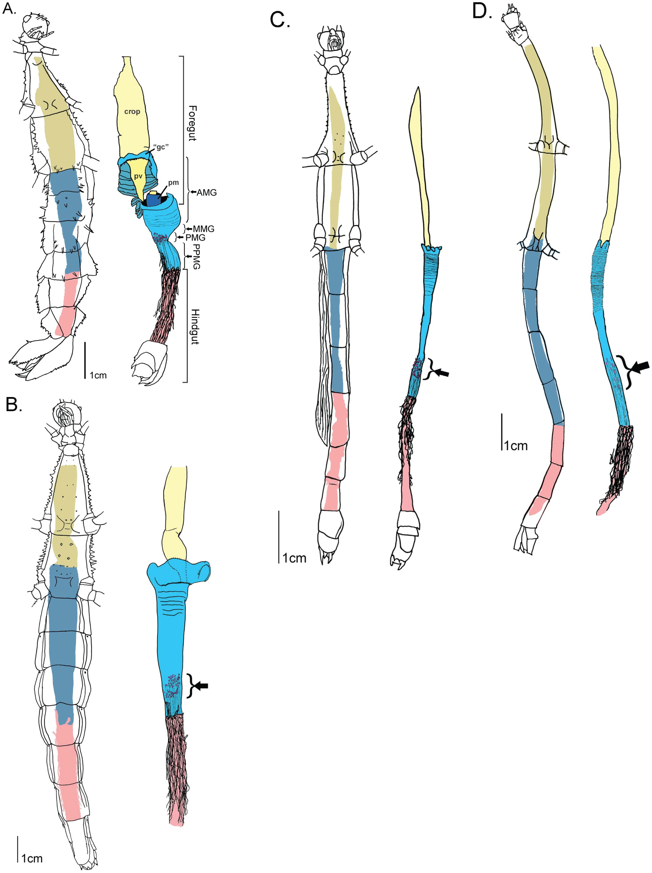 Review Of The Gross Anatomy And Microbiology Of The Phasmatodea