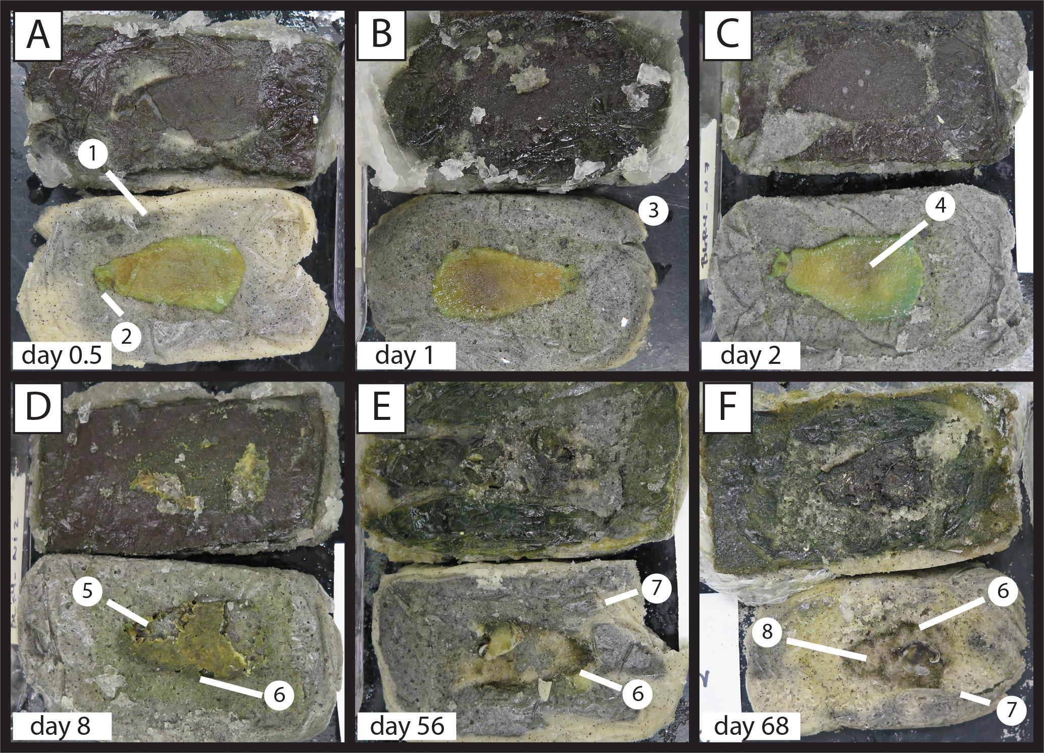 EDIACARAN-STYLE DECAY EXPERIMENTS USING MOLLUSKS AND SEA ANEMONES