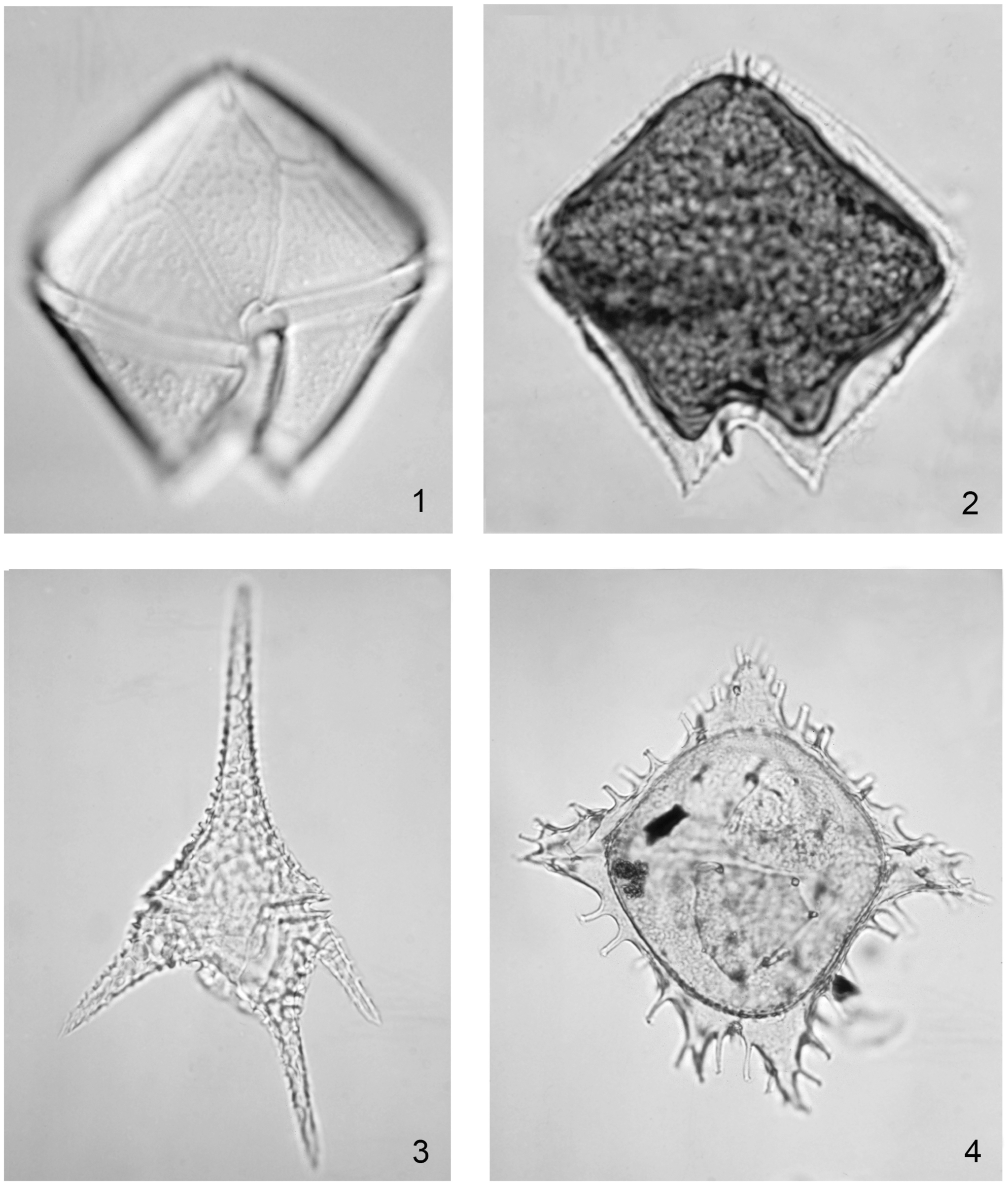 fe2f6c183d4 This species is typical of the Palaeogene peridiniacean subfamily  Wetzelielloideae