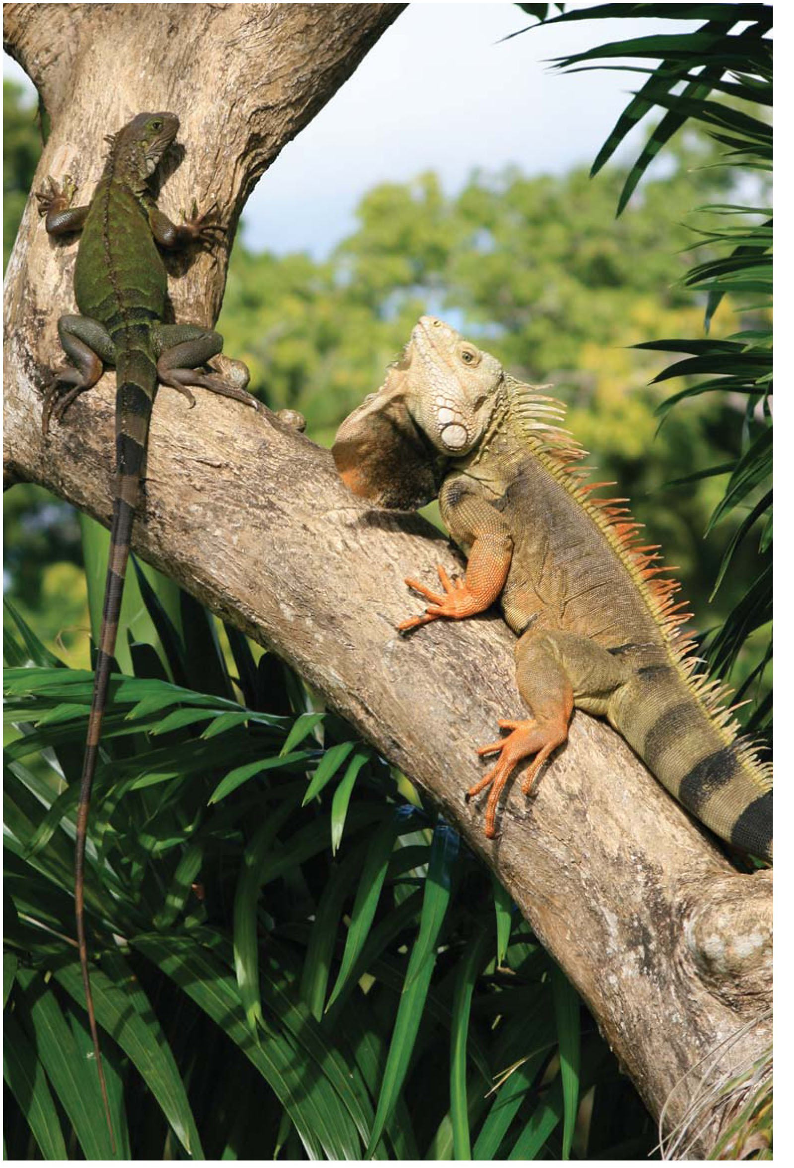 3992589f8d8 Biology and Impacts of Pacific Island Invasive Species. 10. Iguana ...