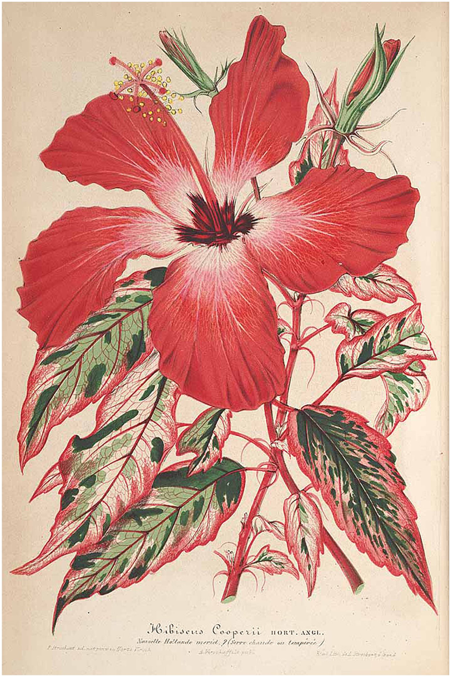 Review of Fiji Hibiscus (Malvaceae-Malvoideae) Species in Section