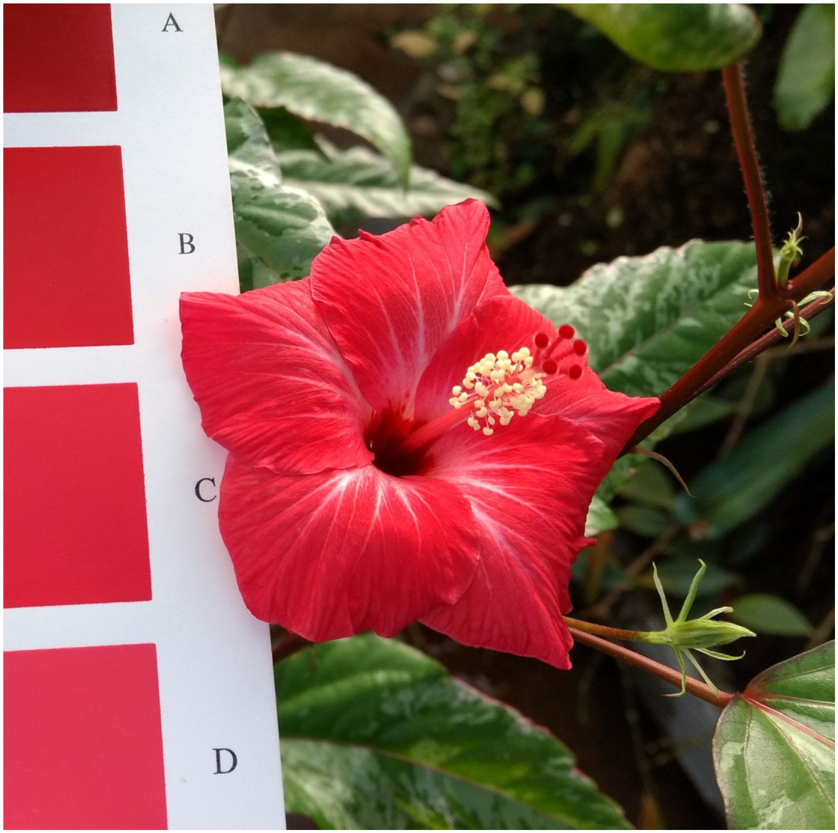 Review Of Fiji Hibiscus Malvaceae Malvoideae Species In Section