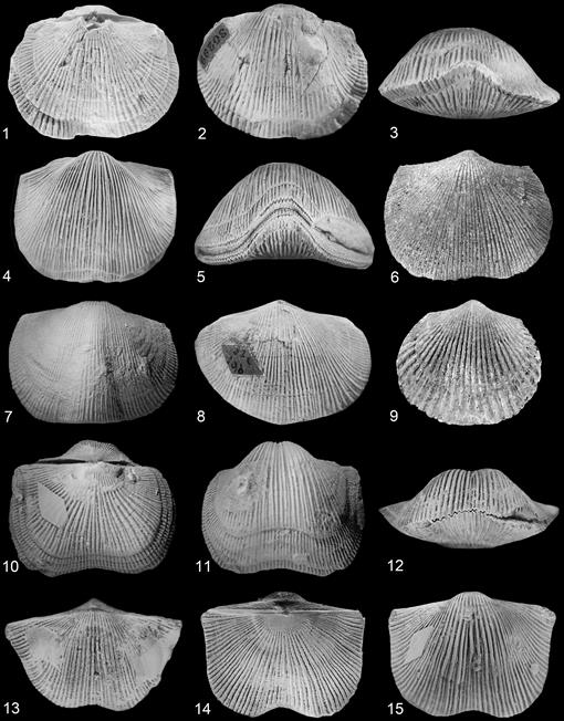 Devonian Brachiopod mollusc fossil collection 19 species INDEPENDENCE SHALE Iowa