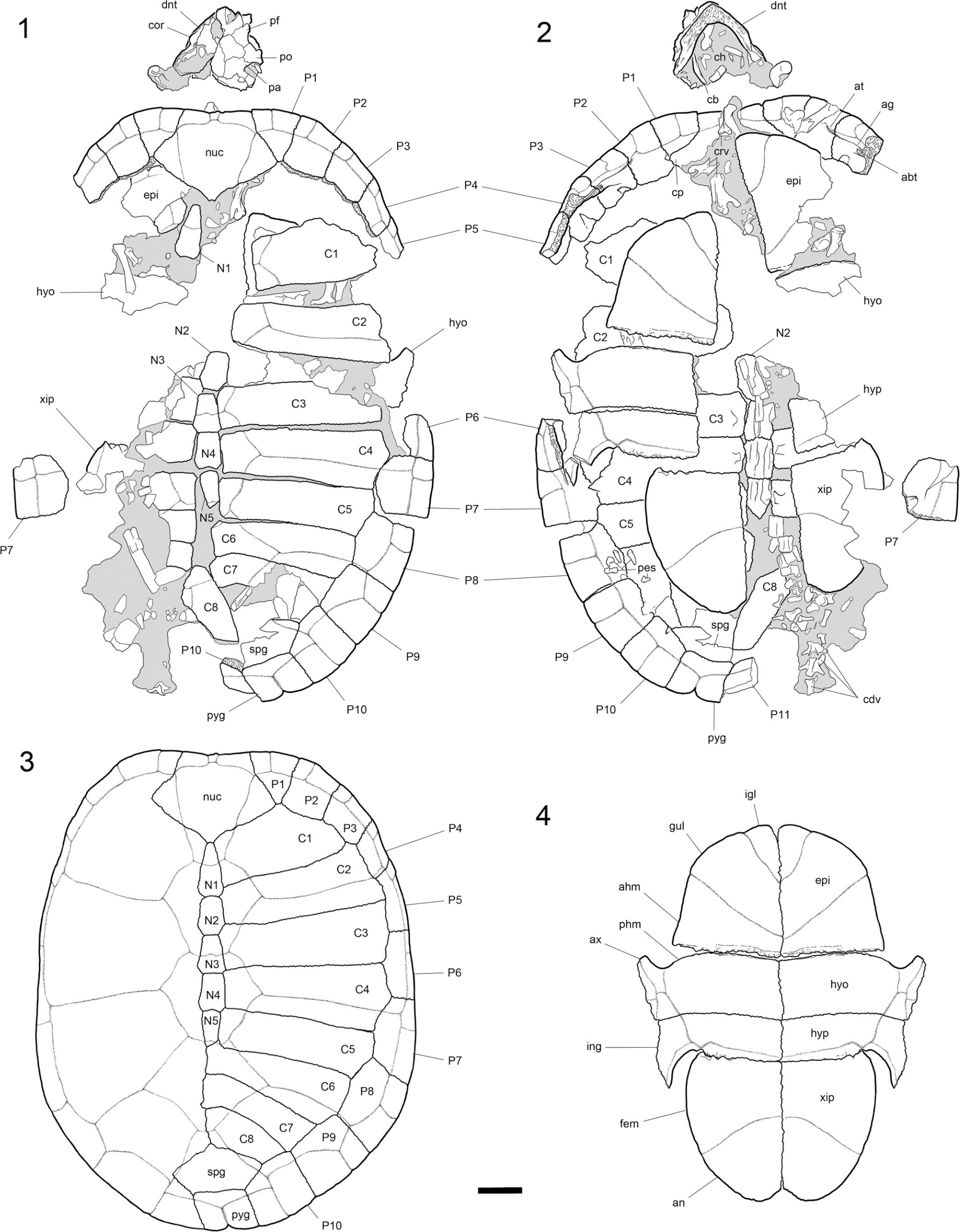 New mud turtles (Kinosternidae, Kinosternon) from the middle