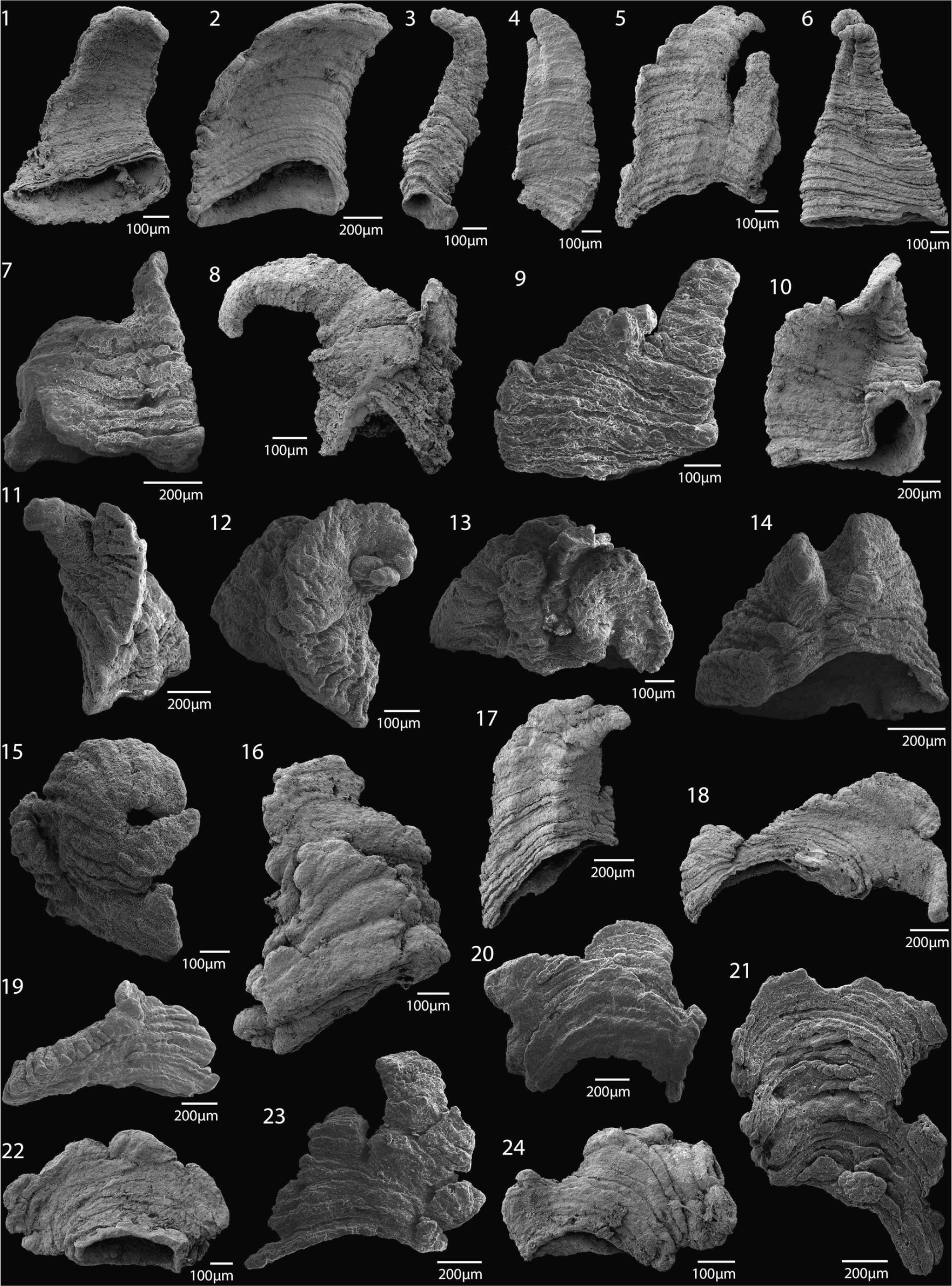 The early Cambrian tommotiid Kulparina rostrata from South
