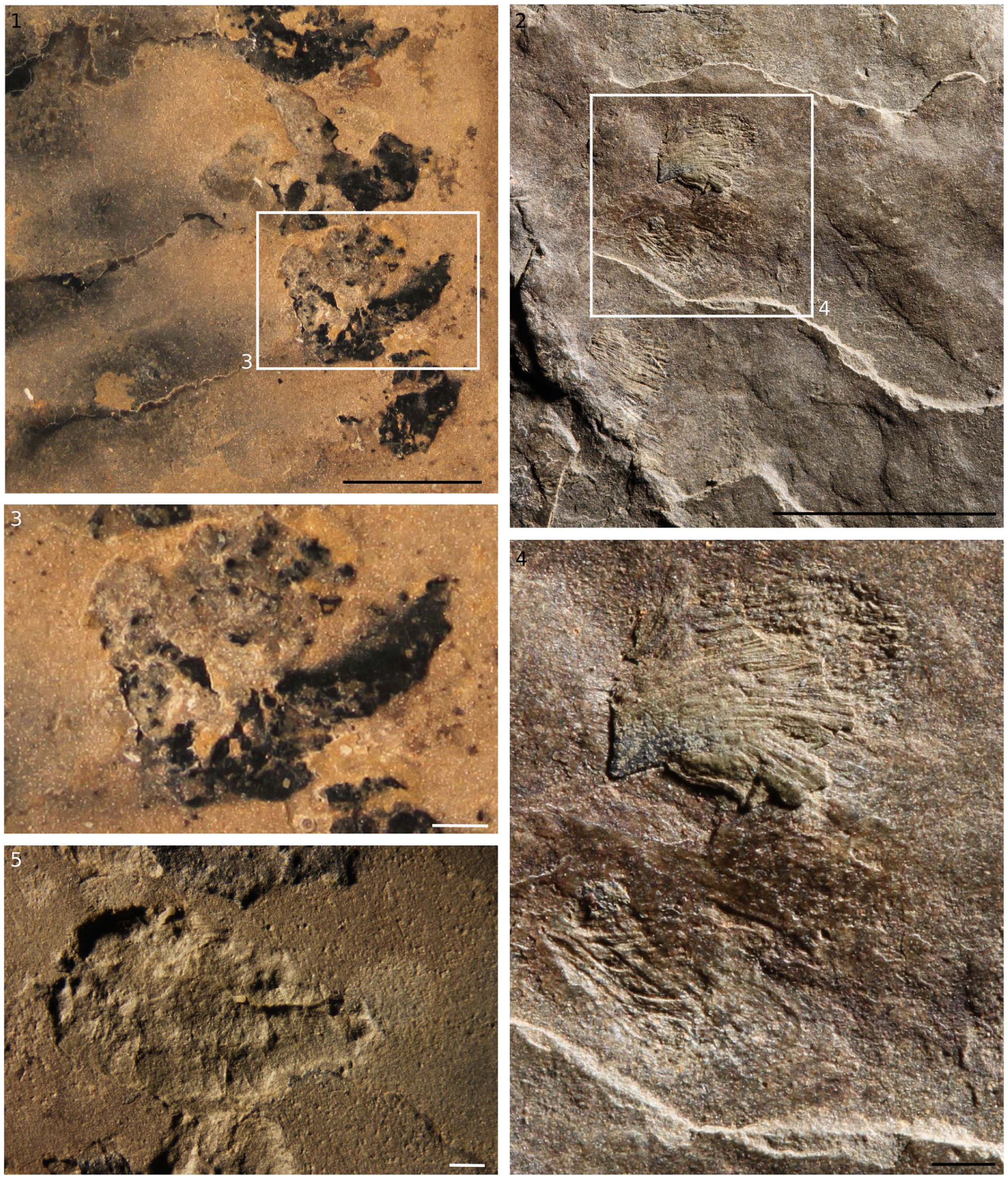 Hurdiid radiodontans from the middle Cambrian (Series 3) of Utah