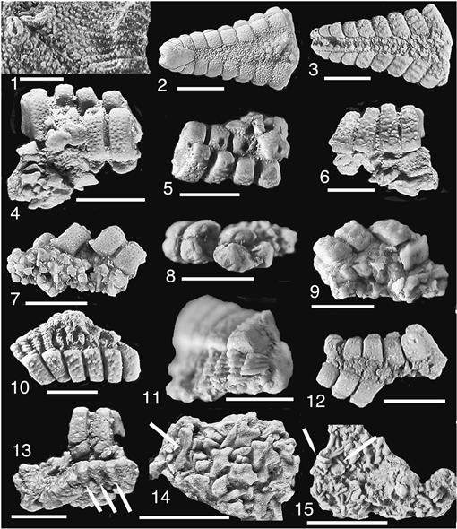 A New Species Of The Asteroid Genus Betelgeusia Echinodermata From