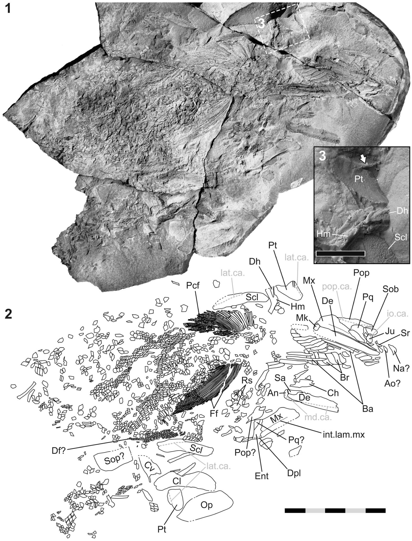 Marine Early Triassic Actinopterygii from the Candelaria