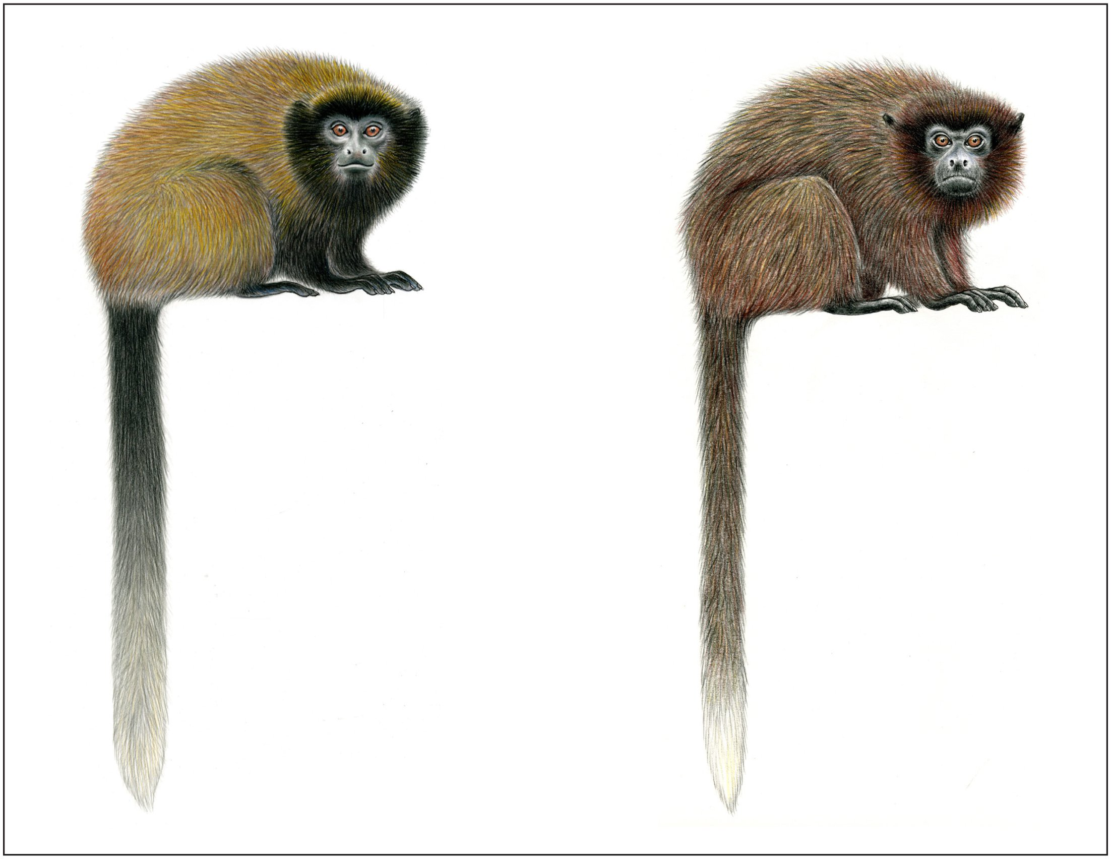 The Distribution and Taxonomy of Titi Monkeys (Callicebus) in Central and  Southern Peru, with the Description of a New Species