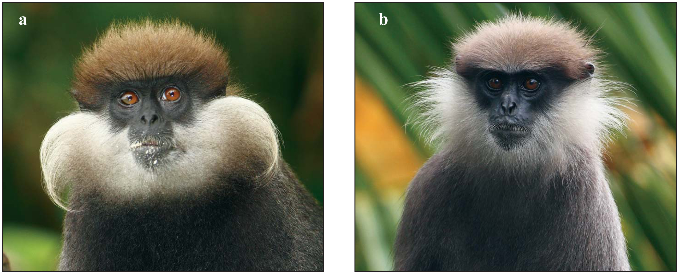 A New Color Morph of the Southern Purple-faced Langur (Semnopithecus