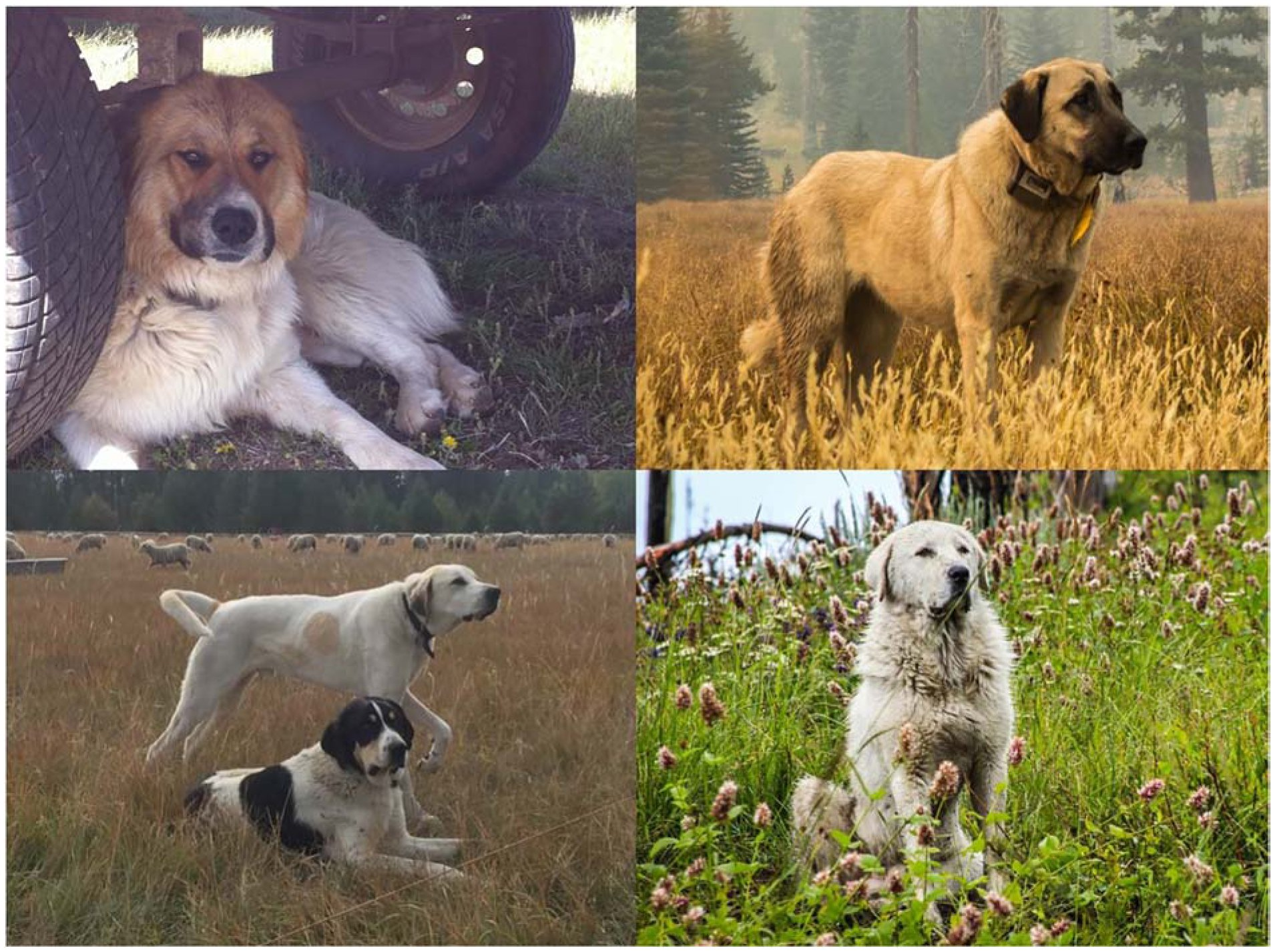 A Livestock Guardian Dog by Any Other Name: Similar Response to