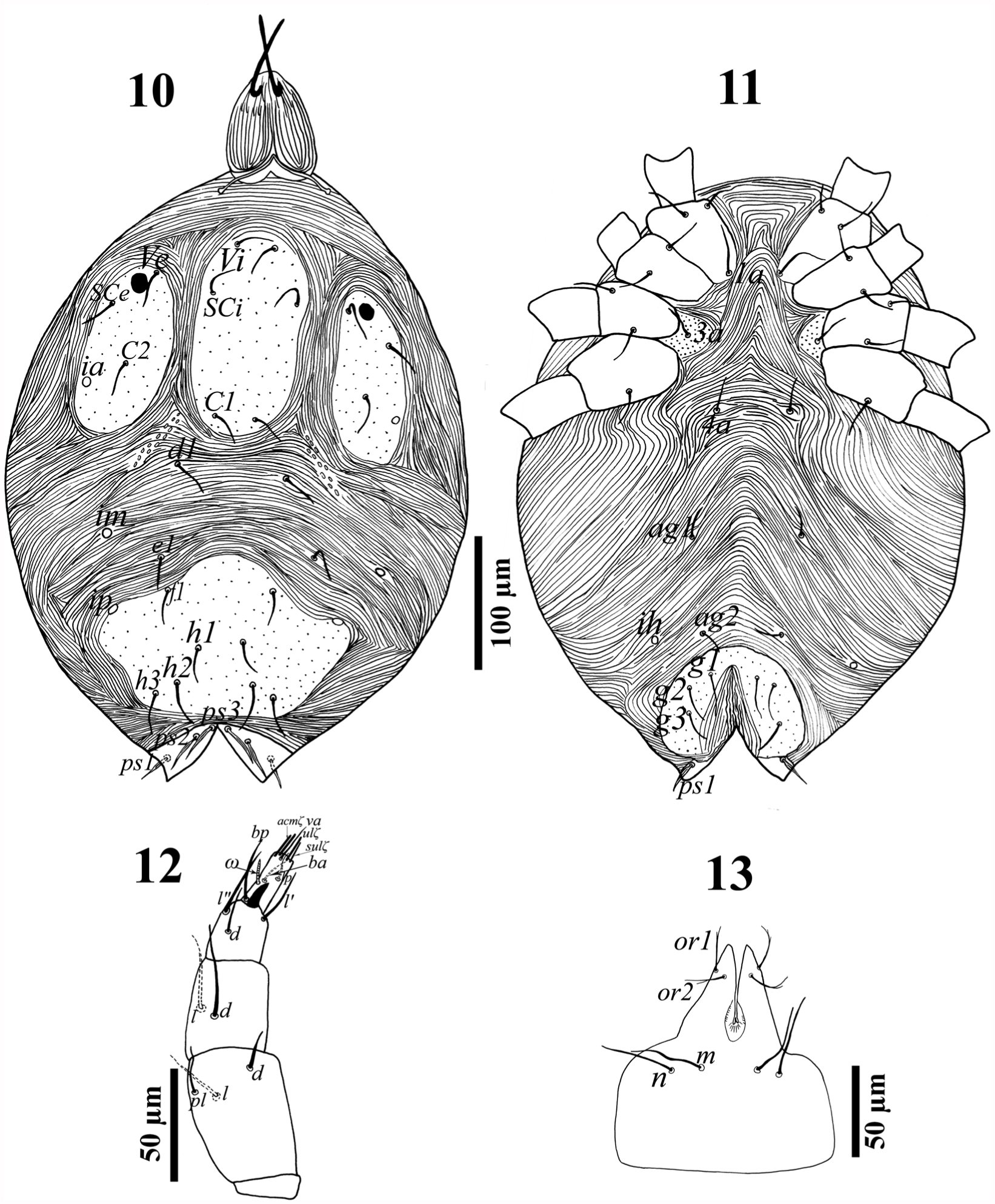 Two new species of the genus Raphignathus Dugès (Acari